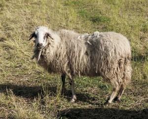 La pecora Rosset, razza autoctona valdostana